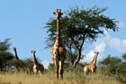 Giraffen am Waterberg