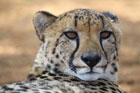 Cheetah at Wabi Game Lodge