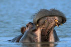 Hippo in Lake Wabi